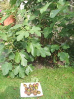 one productive fig tree